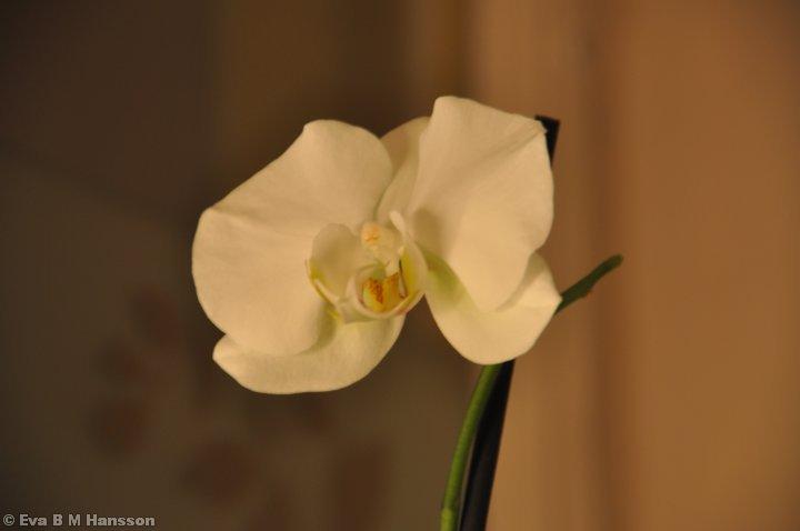 Orkidé i köksfönstret. Söderstaden kl 20:00 den 10 januari 2013.