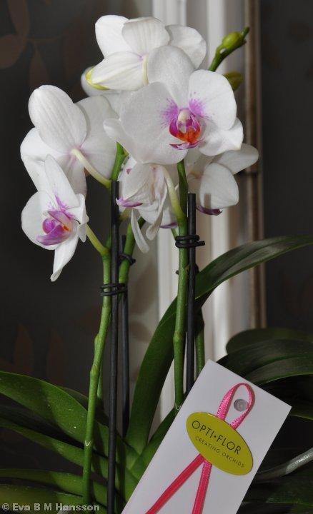 Nyinköpt orkidé i köksfönstret. Söderstaden kl 21:10 den 21 januari 2013.