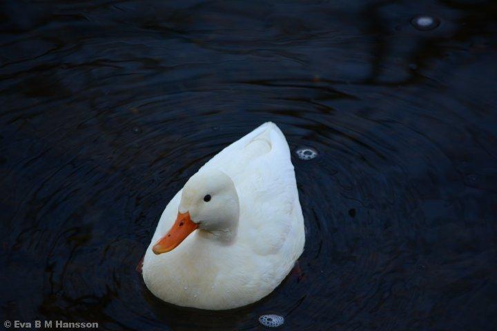 Åh, en vit and!