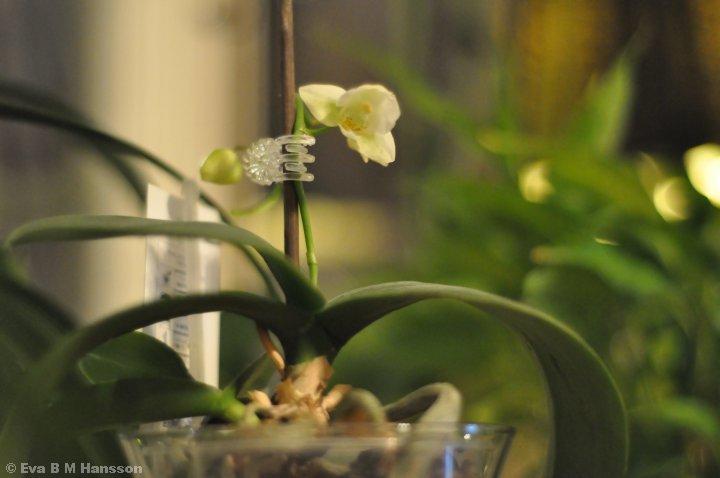 Liten orkidé. Söderstaden kl 21:05 den 28 januari 2015.