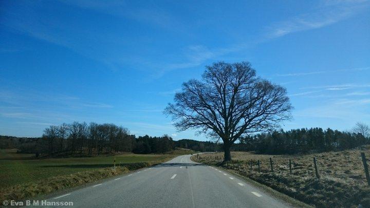 Ensamt träd utmed väg 210. Söderköping kl 11:41 den 3 april 2015.