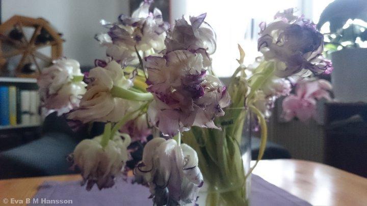 Tulpanerna sjunger på sista versen. Söderstaden kl 18:41 den 28 april 2015.