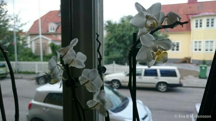 Orkidé i fönster. Söderstaden kl 20:10 den 13 juli 2016.